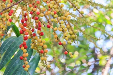 chewed: Red Catechu Areca Nut Mature Ripe On Tree.