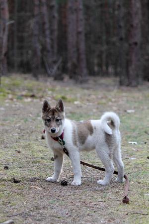 East Siberian Laika on a walk