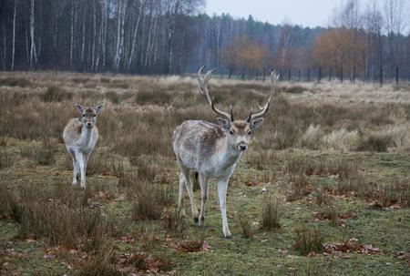 Two fallow deers (Dama dama) grazing.