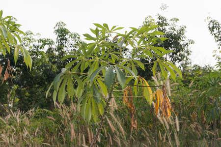 potato tree: cassava tree closeup in Northeast of thailand Stock Photo