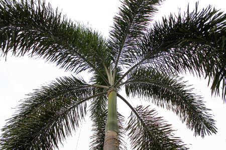 betel nut palm tree images