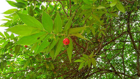 Jamaican cherry or calabura on tree