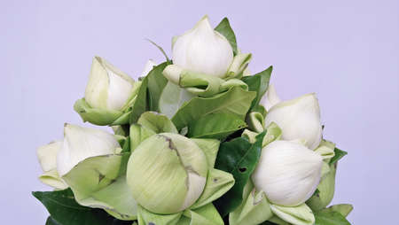 white lotus flower . on white background white lotus flower