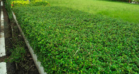 bush garden .  beautiful green bush plant
