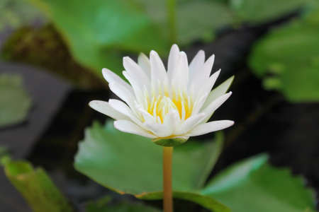 White lotus flower blur on plain background