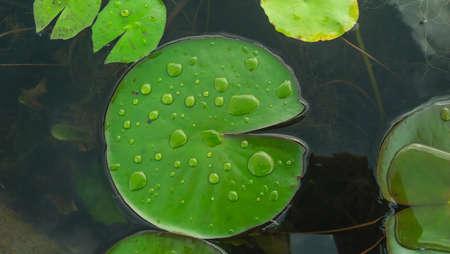 lotus leaf ,  water droplets leaf lotus Stock Photo