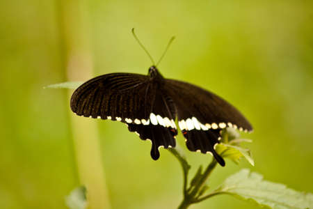 incest: Dark butterfly sitting on leaf and green background