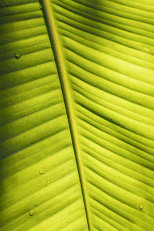 Fresh green banana leaves pattern of Indian borage,selective focus, selective focus on subject