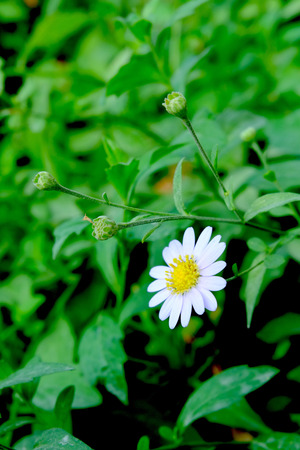White daisy flower, White flower blossom, White flowers are blooming Banque d'images - 122393543