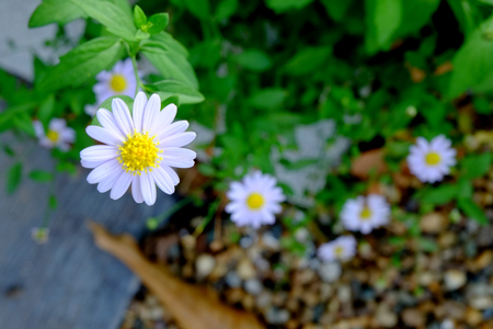 White daisy flower, White flower blossom, White flowers are blooming Banque d'images - 122393644