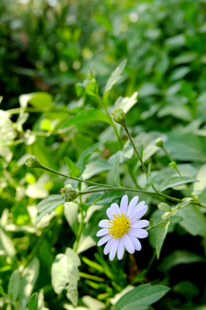 White daisy flower, White flower blossom, White flowers are blooming Banque d'images - 122393647