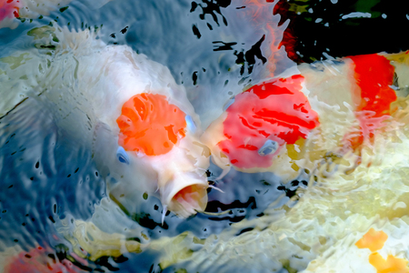 Group of Koi fish open mouth, Carp fish wait for food, Feeding Banque d'images - 122393649
