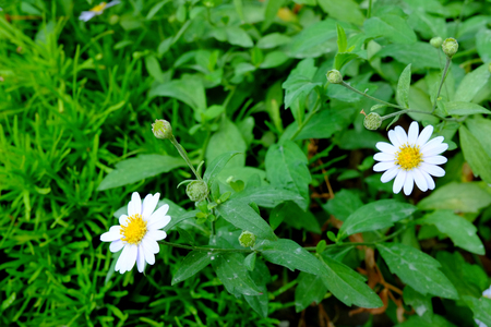 White daisy flower, White flower blossom, White flowers are blooming Banque d'images - 122393653