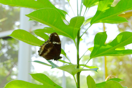 Brown butterfly on leaf green, Butterfly in garden, Butterfly life cycle Banque d'images - 122393941