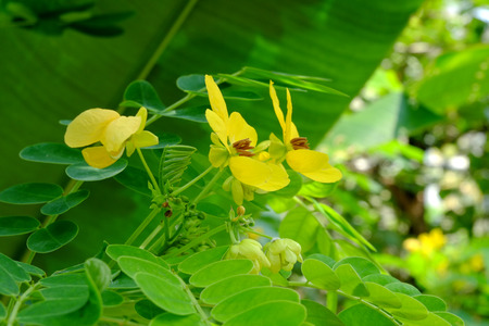Cassia fistula, Koon flower, The yellow flowers of Thailand Banque d'images - 122393949