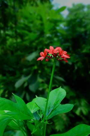 Red flower, Tiny red flower in garden, Red flower  bouquet. Banque d'images - 122393950