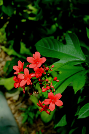 Red flower, Tiny red flower in garden, Red flower  bouquet. Banque d'images - 122394019