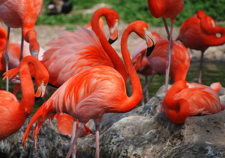 A group of orange colored flamingos
