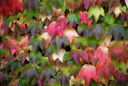 Multicolored leaf mosaic - with green red pink yellow white colors