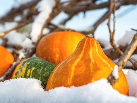 Closeup of outdoor pumpkins in the snow