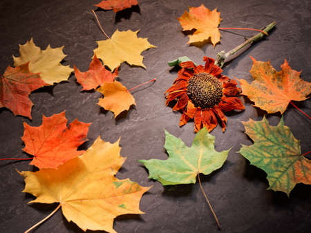 Autumn concept. A withered sunflower flower is on a concrete surface. Maple leaves are scattered nearby. Stock fotó - 155444237