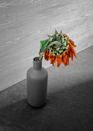 Autumn concept. A wilted sunflower is in a bottle vase. Isolated color. Shallow depth of field.