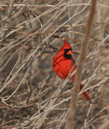 perching: northern cardinal perching on a branch Stock Photo