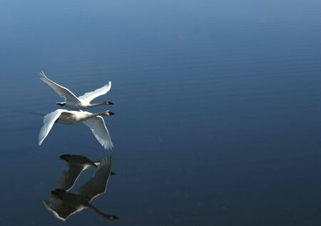 pair of swans flying together Stock Photo - 3256063