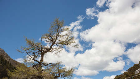 noon: Aden pine, blue sky and white clouds