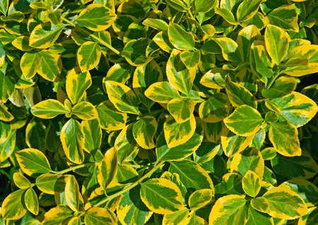 黄色と緑のクローズ アップは、ツルマサキ、背景、テクスチャの葉します。