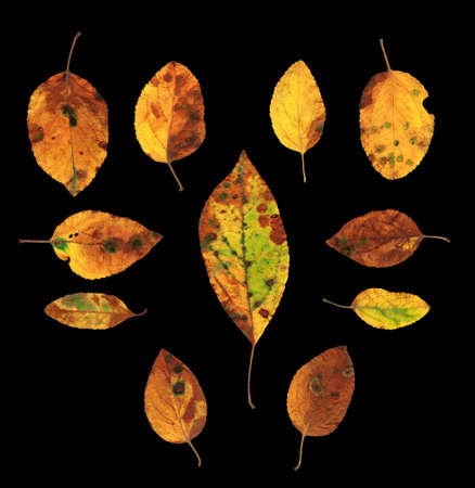 Collection set of eleven colorful autumn yellow, green and red natural looking leaves isolated on black background photo