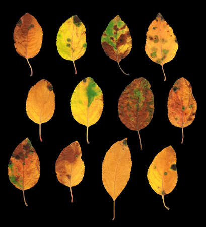 closer: Collection set of twelve colorful autumn yellow, green and red natural looking leaves isolated on black background Stock Photo