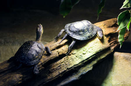 Two small reptile turtles on wood background, zoo wild animals photo