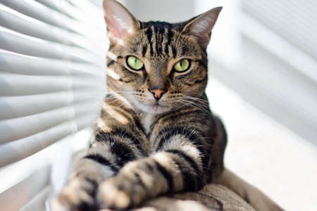 diagonals: Closeup portrait of cute adorable tabby cat with stripes and yellow eyes looking straight into camera lying on sofa couch on sunny day. Selective focus.