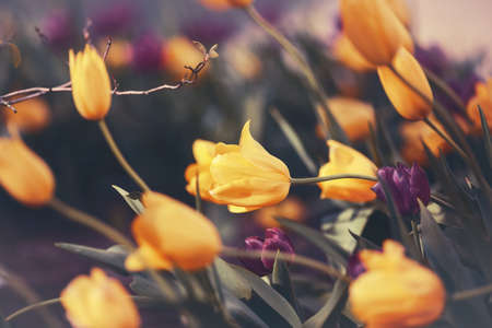 Beautiful fairy dreamy magic yellow tulip flowers with colorful  bokeh tone in retro vintage color, soft selective focus, shallow depth of field, blurry background Foto de archivo