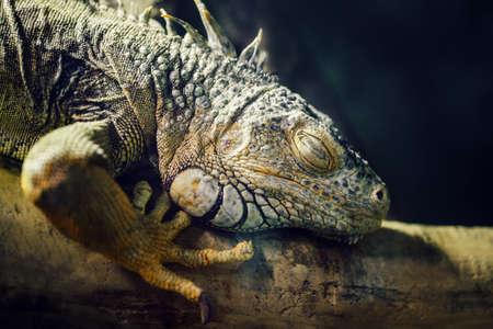reptilia: Closeup portrait of green American common iguana sleeping on a tree in zoo, arboreal species of lizard reptilia