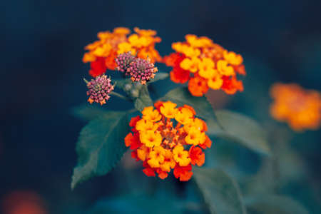 lantana camara: Beautiful fairy dreamy magic red yellow orange flower lantana camara on green blue blurry background, toned with  filters in retro vintage style with film effect, soft selective focus