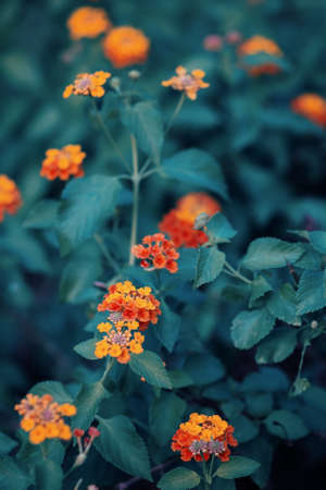 artsy: Beautiful fairy dreamy magic red yellow orange flower lantana camara on green blue blurry background, toned with  filters in retro vintage style with film effect, soft selective focus