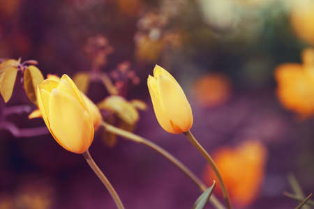 Beautiful fairy dreamy magic yellow tulip flowers with colorful  bokeh toned with  filters  in retro vintage color, soft selective focus, shallow depth of field, blurry background Stock Photo