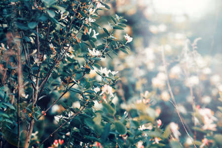 washed out: Beautiful fairy dreamy magic white tree flowers with dark green leaves, toned with instagram vsco filter in retro vintage washed out pastel, soft selective focus, lens sun flare, copyspace Stock Photo