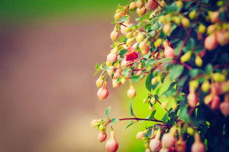 flores fucsia: Bush grupo de pequeñas flores de color rosa fucsia con hojas verdes, el enfoque selectivo, profundidad de campo, entonado con filtros, copia espacio para el texto, fondo rojo verde Foto de archivo