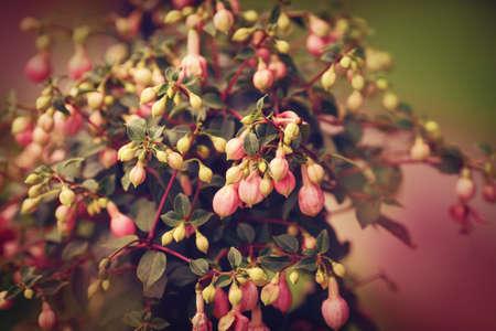 flores fucsia: Bush grupo de pequeñas flores de color rosa fucsia con hojas verdes, el enfoque selectivo, profundidad de campo, entonado con filtros, dominante de color rosa Foto de archivo