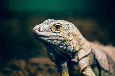 Closeup portrait of green American common iguana in zoo, arboreal species of lizard reptilia