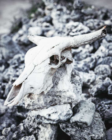 Animal skull with horns on gray stones rocks grungy background Stock Photo