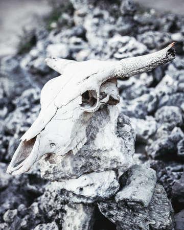 talisman: Cráneo animal con cuernos en piedras grises rocas fondo sucio Foto de archivo