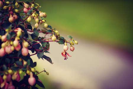 flores fucsia: Bush grupo de pequeñas flores de color rosa fucsia con hojas verdes, el enfoque selectivo, profundidad de campo, entonado con filtros, copia espacio para el texto, fondo verde