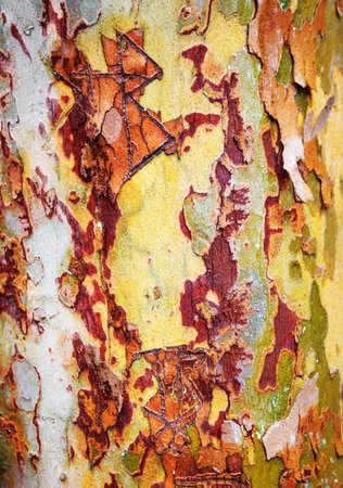 sicomoro: Closeup macro shot of yellow green red colorful bark of an old tree, sycamore