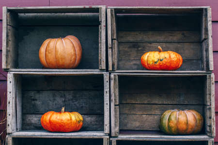 Fresh harvest, four farm yellow orange pumpkins with unusual funny curvy shape form on wooden shelf furniture boxes, with copy space for text Stock fotó