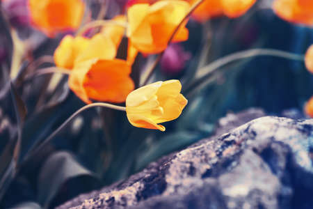 artsy: Beautiful fairy dreamy magic yellow tulip flowers with colorful  bokeh toned with filters  in retro vintage color, soft selective focus, shallow depth of field