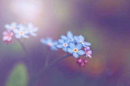 Beautiful colorful fairy dreamy magic small blue forget-me-not flowers, blurry background, toned with filters and light leak, soft selective focus, macro closeup nature with lens flare